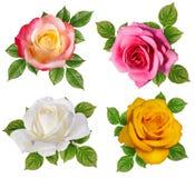 查出的玫瑰白色 库存图片