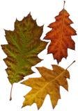 查出的秋天或秋天叶子 免版税库存图片