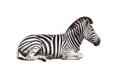 查出的空白斑马 免版税图库摄影