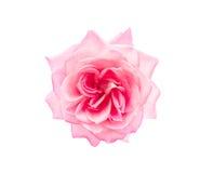查出的粉红色上升了 图库摄影