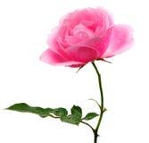 查出的粉红色玫瑰白色 库存图片