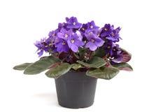 查出的紫罗兰色白色 库存图片