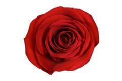 查出的红色玫瑰白色 免版税库存图片
