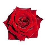 查出的红色玫瑰白色 免版税库存照片