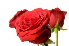 查出的红色玫瑰 免版税库存照片