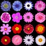 查出的红色,桃红色,紫色,蓝色和白花 免版税库存图片