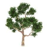 查出的结构树白色 免版税图库摄影