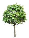 查出的结构树 免版税库存图片