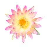 查出的美好的粉红色 免版税库存图片