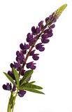 查出的羽扇豆紫色白色 免版税图库摄影