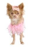 查出的芭蕾舞女演员奇瓦瓦狗 库存照片