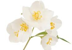 查出的茉莉花枝杈 库存图片