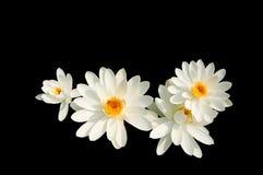 查出的莲花白色 免版税库存图片