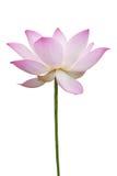 查出的莲花粉红色白色 库存照片