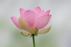查出的莲花粉红色 免版税库存图片