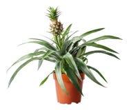 查出的菠萝白色 免版税库存照片
