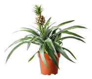 查出的菠萝白色 库存照片