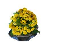 查出的蒲包花属植物 库存图片