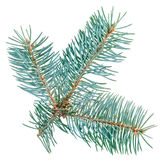 查出的蓝色云杉的枝杈 库存照片