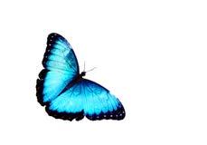 查出的蓝色蝴蝶 库存图片