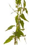 查出的蓼属植物 库存图片