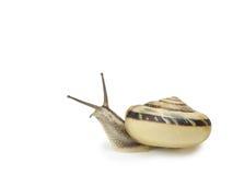查出的蜗牛白色 免版税库存图片