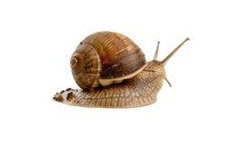 查出的蜗牛 免版税库存图片