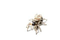 查出的蜘蛛斑马 免版税库存照片