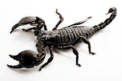 查出的蝎子白色 免版税库存图片