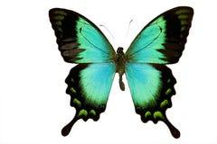 查出的蝴蝶绿色 免版税库存图片