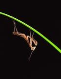 查出的螳螂 库存图片