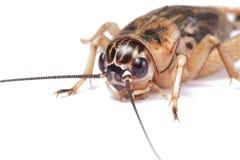查出的蟋蟀详细资料 图库摄影