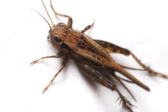 查出的蟋蟀 库存照片