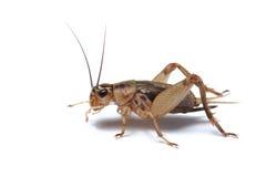查出的蟋蟀 免版税库存图片