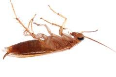查出的蟑螂德语 免版税库存照片