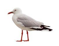 查出的行程红色海鸥侧视图 免版税图库摄影