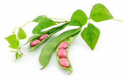 查出的豆扁豆留下成熟种子 免版税库存照片