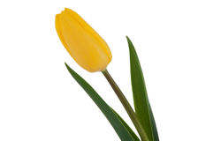 查出的郁金香空白黄色 免版税图库摄影