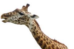 查出的长颈鹿题头 免版税库存图片