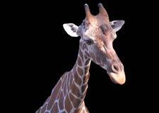 查出的长颈鹿 免版税库存图片