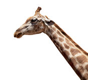 查出的长颈鹿 免版税库存照片