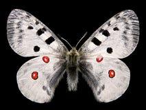 查出的阿波罗蝴蝶 免版税库存照片