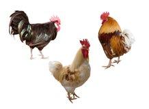 查出的雄鸡三白色 免版税库存照片