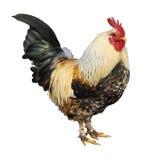 查出的雄鸡 免版税库存照片
