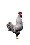 查出的雄鸡 库存图片