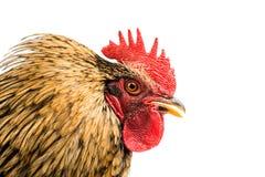 查出的雄鸡 免版税图库摄影