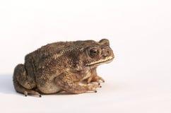 查出的青蛙 图库摄影