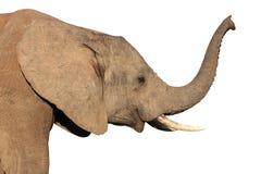 查出的非洲大象 免版税图库摄影