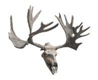查出的驯鹿头骨和鹿角。 库存照片