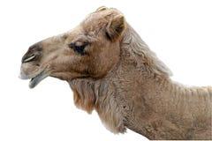查出的骆驼愉快 免版税库存图片